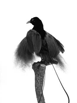 Vogel Lecomte von Tatiana Leconte
